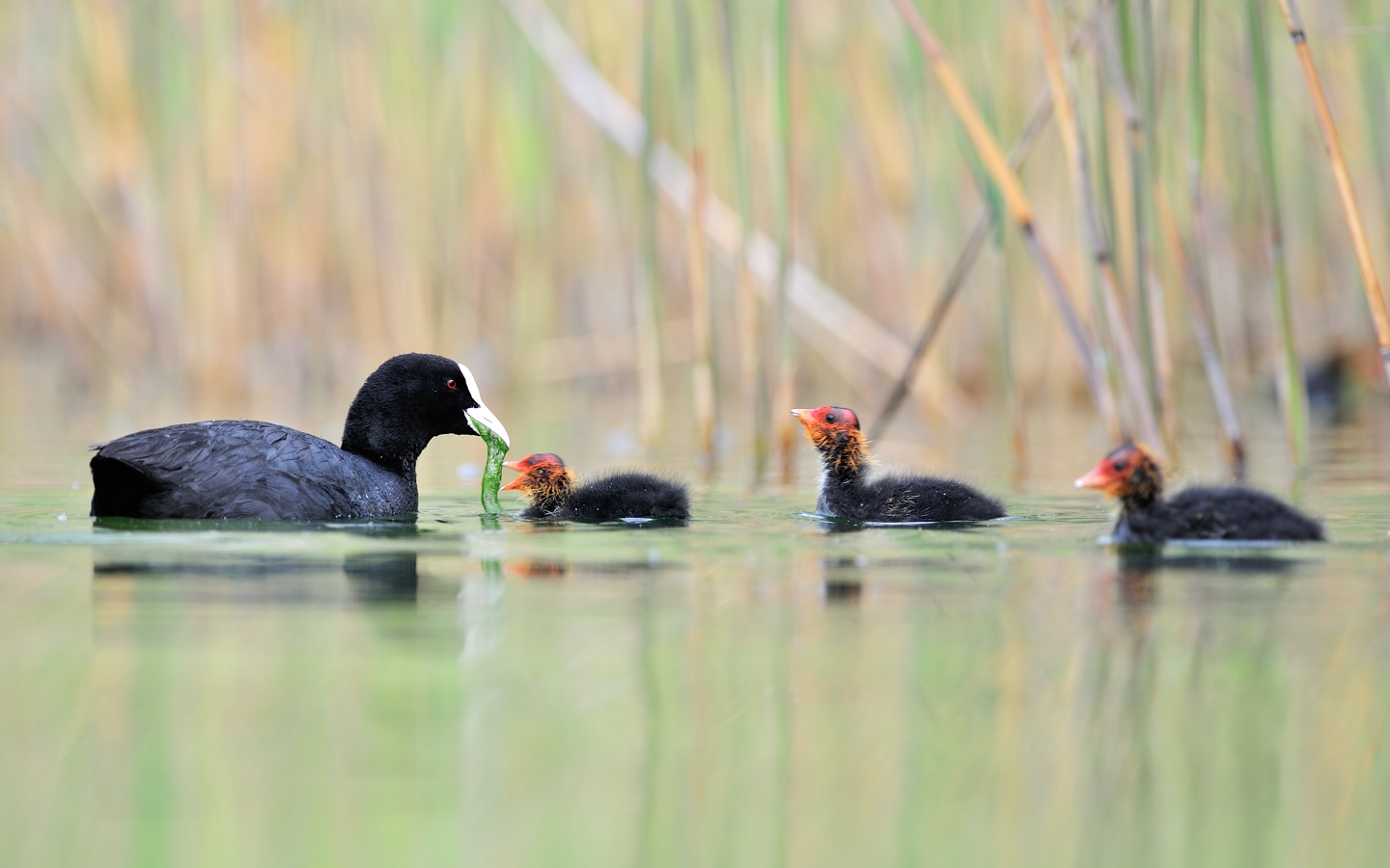 eurasian coot jean daniel borgeaud wildlife photographer. Black Bedroom Furniture Sets. Home Design Ideas