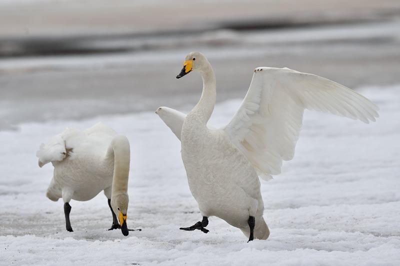 Whooper Swan Lake - is Kuusamo on the re Russian borders