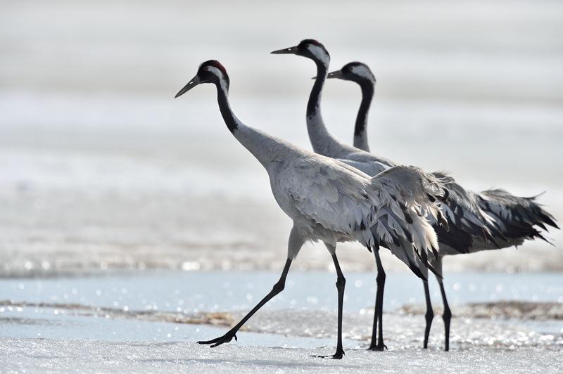 Common crane is Kuusamo on the re Russian borders