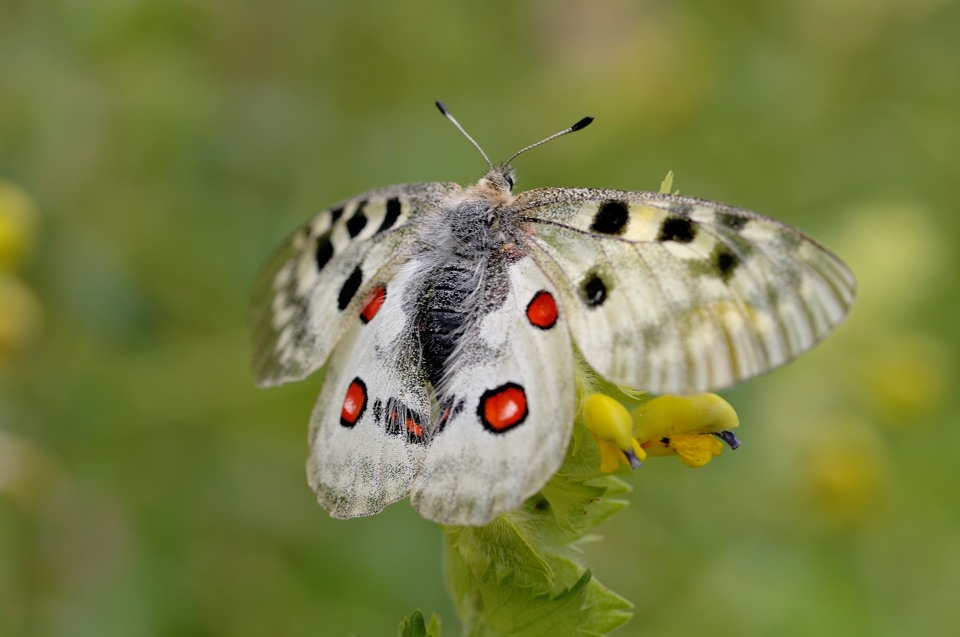 Apollon - Parnassius apollo
